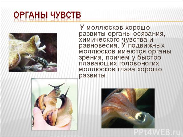 У моллюсков хорошо развиты органы осязания, химического чувства и равновесия. У подвижных моллюсков имеются органы зрения, причем у быстро плавающих головоногих моллюсков глаза хорошо развиты.