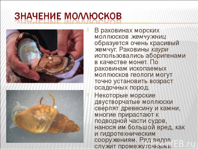 В раковинах морских моллюсков жемчужниц образуется очень красивый жемчуг. Раковины каури использовались аборигенами в качестве монет. По раковинам ископаемых моллюсков геологи могут точно установить возраст осадочных пород. Некоторые морские двуство…