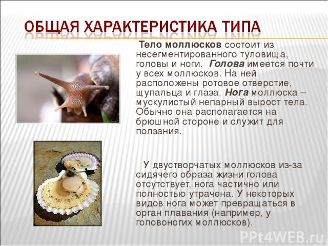 Тело моллюсков состоит из несегментированного туловища, головы и ноги. Голова имеется почти у всех моллюсков. На ней расположены ротовое отверстие, щупальца и глаза. Нога моллюска – мускулистый непарный вырост тела. Обычно она располагается на брюш…