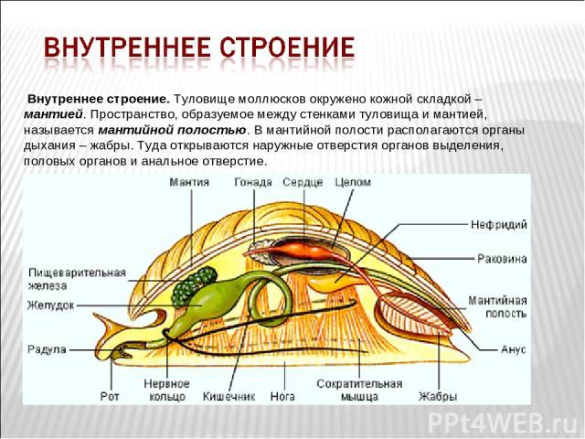 Внутреннее строение. Туловище моллюсков окружено кожной складкой – мантией. Пространство, образуемое между стенками туловища и мантией, называется мантийной полостью. В мантийной полости располагаются органы дыхания – жабры. Туда открываются наружны…
