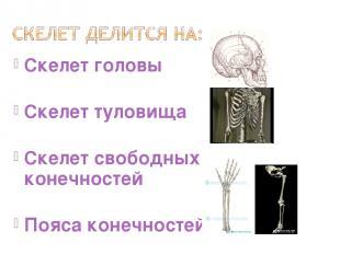 Скелет головы Скелет туловища Скелет свободных конечностей Пояса конечностей