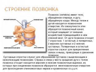 Позвонок (vertebra) имеет тело, обращённое кпереди, и дугу, обращённую кзади. Ме