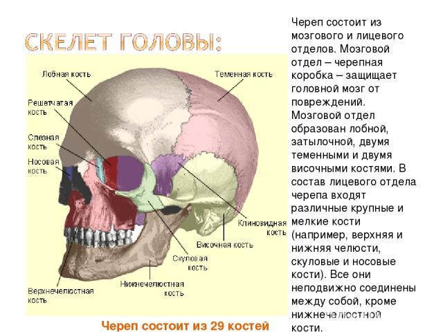 Череп состоит из 29 костей Череп состоит из мозгового и лицевого отделов. Мозговой отдел – черепная коробка – защищает головной мозг от повреждений. Мозговой отдел образован лобной, затылочной, двумя теменными и двумя височными костями. В состав лиц…
