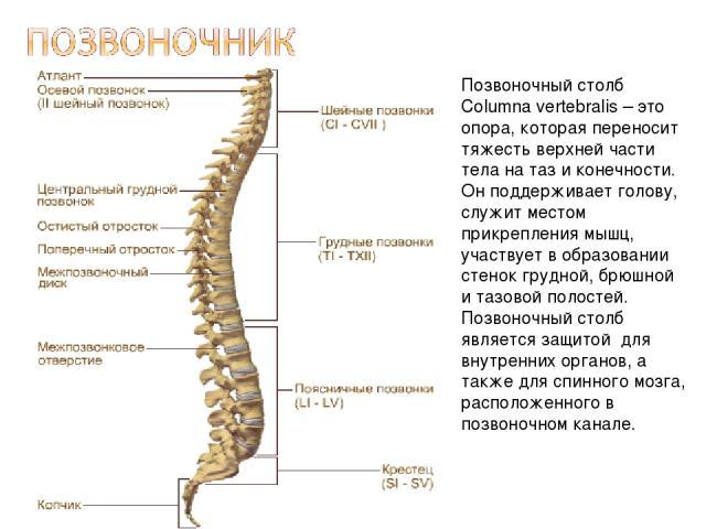 Позвоночный столб Columna vertebralis – это опора, которая переносит тяжесть верхней части тела на таз и конечности. Он поддерживает голову, служит местом прикрепления мышц, участвует в образовании стенок грудной, брюшной и тазовой полостей. Позвоно…