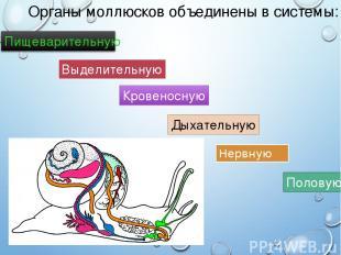 Органы моллюсков объединены в системы: Нервную Выделительную Половую Кровеносную