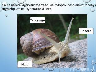 У моллюсков мускулистое тело, на котором различают голову (нет у двустворчатых),