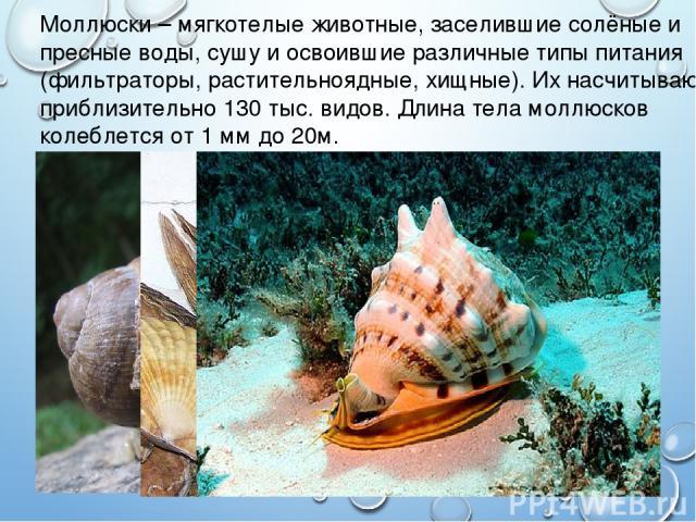 Моллюски – мягкотелые животные, заселившие солёные и пресные воды, сушу и освоившие различные типы питания (фильтраторы, растительноядные, хищные). Их насчитывают приблизительно 130 тыс. видов. Длина тела моллюсков колеблется от 1 мм до 20м.