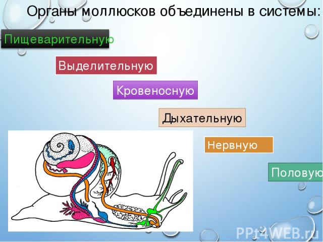 Органы моллюсков объединены в системы: Нервную Выделительную Половую Кровеносную Дыхательную