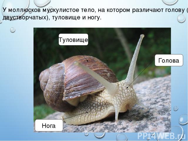 У моллюсков мускулистое тело, на котором различают голову (нет у двустворчатых), туловище и ногу. Голова Нога Туловище