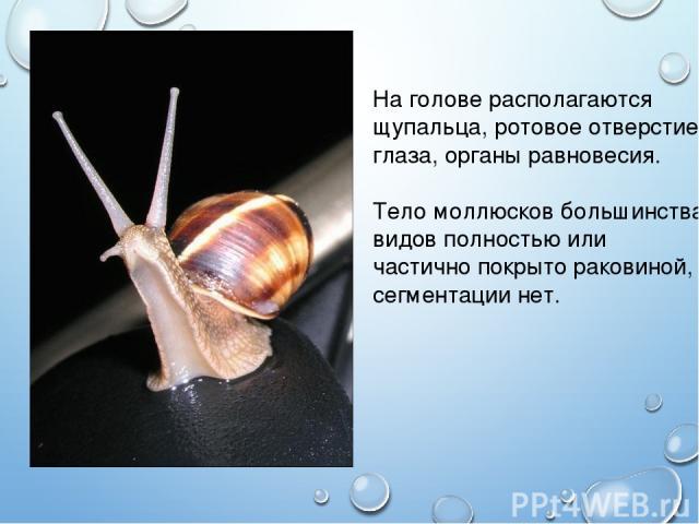 На голове располагаются щупальца, ротовое отверстие, глаза, органы равновесия. Тело моллюсков большинства видов полностью или частично покрыто раковиной, сегментации нет.