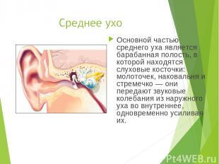 Основной частью среднего уха является барабанная полость, в которой находятся сл