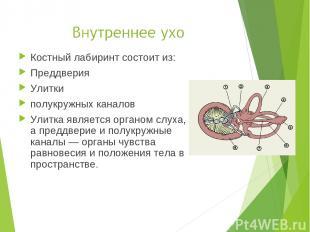 Костный лабиринт состоит из: Преддверия Улитки полукружных каналов Улитка являет