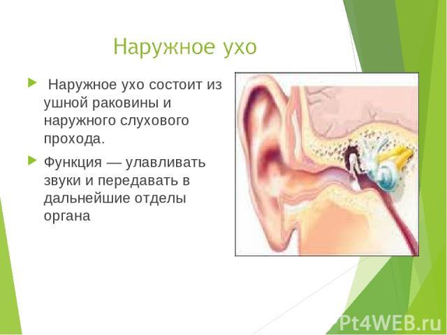 Наружное ухо состоит из ушной раковины и наружного слухового прохода. Функция — улавливать звуки и передавать в дальнейшие отделы органа