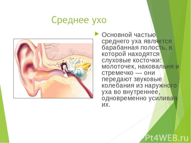 Основной частью среднего уха является барабанная полость, в которой находятся слуховые косточки: молоточек, наковальня и стремечко — они передают звуковые колебания из наружного уха во внутреннее, одновременно усиливая их.