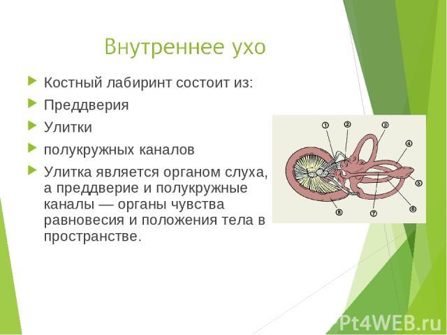 Костный лабиринт состоит из: Преддверия Улитки полукружных каналов Улитка является органом слуха, а преддверие и полукружные каналы — органы чувства равновесия и положения тела в пространстве.