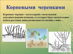 Корневые черенки - части корней с несколькими дополнительными почками, от которы