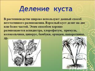 В растениеводстве широко используют данный способ вегетативного размножения. Взр