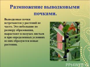 Выводковые почки встречаются у растений не часто. Это небольшие по размеру образ