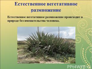 Естественное вегетативное размножение происходит в природе без вмешательства чел
