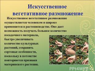 Искусственное вегетативное размножение осуществляется человеком и широко применя