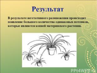 В результате вегетативного размножения происходит появление большого количества