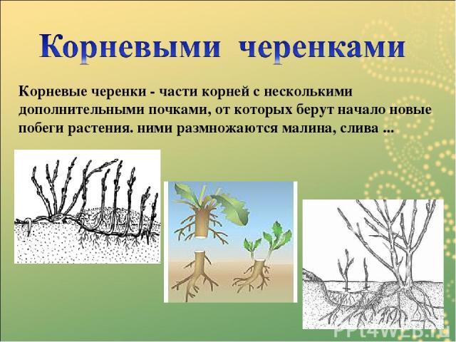 Корневые черенки - части корней с несколькими дополнительными почками, от которых берут начало новые побеги растения. ними размножаются малина, слива ...