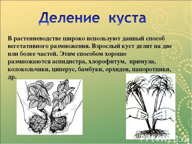 В растениеводстве широко используют данный способ вегетативного размножения. Взрослый куст делят на две или более частей. Этим способом хорошо размножаютсяаспидистра,хлорофитум, примула, колокольчики, циперус, бамбуки,орхидеи,папоротники, др.