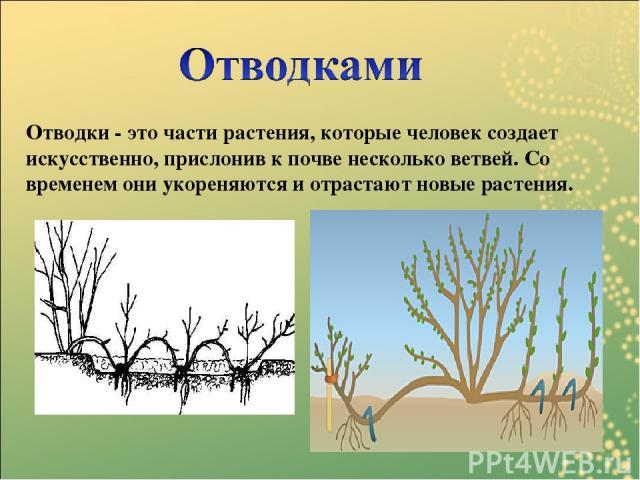 Отводки - это части растения, которые человек создает искусственно, прислонив к почве несколько ветвей. Со временем они укореняются и отрастают новые растения.