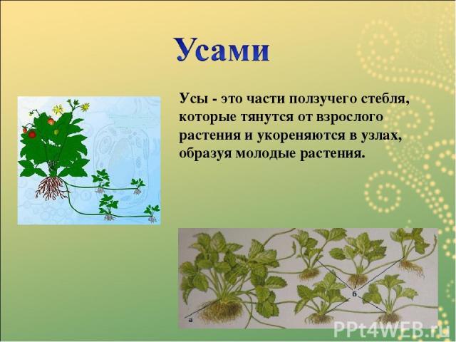 Усы - это части ползучего стебля, которые тянутся от взрослого растения и укореняются в узлах, образуя молодые растения.