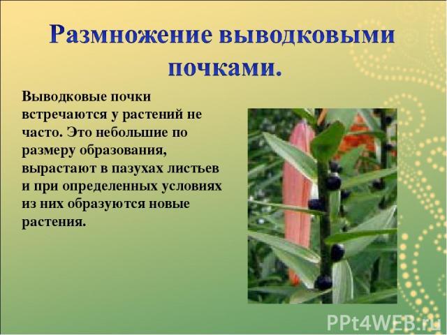 Выводковые почки встречаются у растений не часто. Это небольшие по размеру образования, вырастают в пазухах листьев и при определенных условиях из них образуются новые растения.