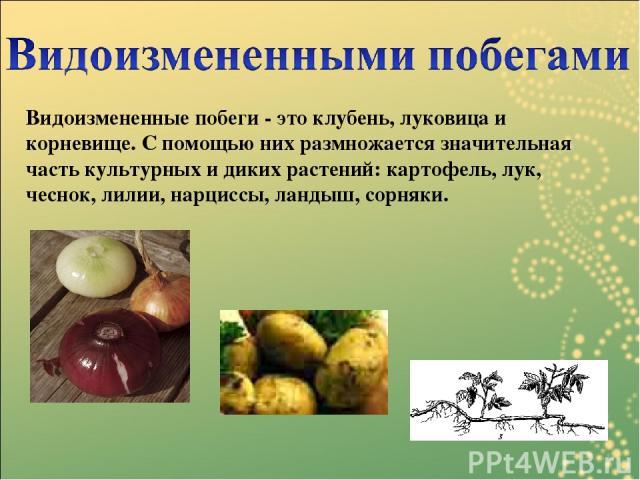 Видоизмененные побеги - это клубень, луковица и корневище. С помощью них размножается значительная часть культурных и диких растений: картофель, лук, чеснок, лилии, нарциссы, ландыш, сорняки.