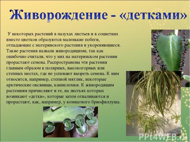 У некоторых растений в пазухах листьев и в соцветиях вместо цветков образуются маленькие побеги, отпадающие с материнского растения и укореняющиеся. Такие растения назвали живородящими, так как ошибочно считали, что у них на материнском растении про…