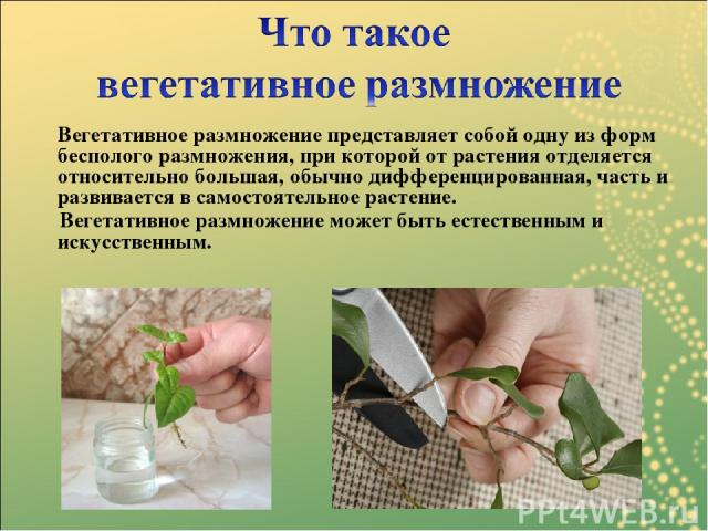 Вегетативное размножение представляет собой одну из форм бесполого размножения, при которой от растения отделяется относительно большая, обычно дифференцированная, часть и развивается в самостоятельное растение. Вегетативное размножение может быть е…