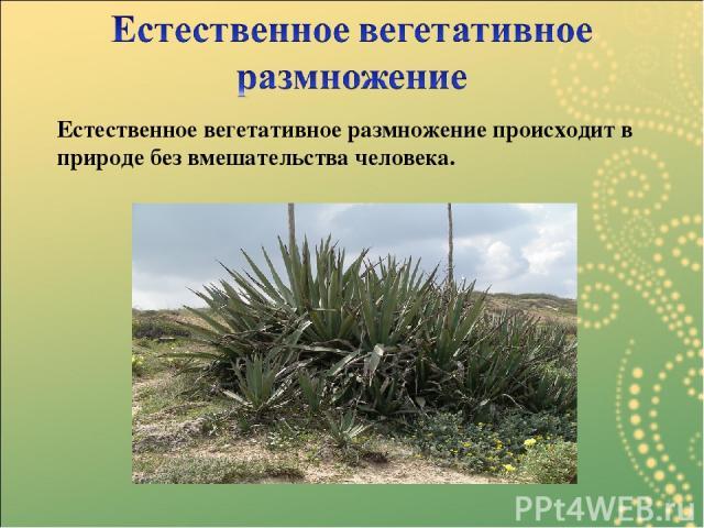 Естественное вегетативное размножение происходит в природе без вмешательства человека.