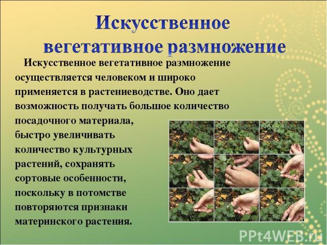 Искусственное вегетативное размножение осуществляется человеком и широко применяется в растениеводстве. Оно дает возможность получать большое количество посадочного материала, быстро увеличивать количество культурных растений, сохранять сортовые осо…