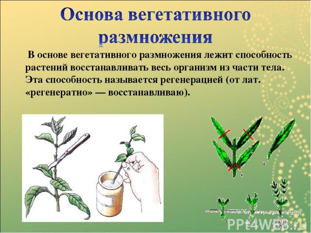 В основе вегетативного размножения лежит способность растений восстанавливать весь организм из части тела. Эта способность называется регенерацией(от лат. «регенератио» — восстанавливаю).