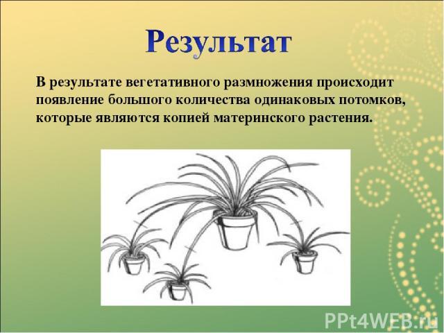 В результате вегетативного размножения происходит появление большого количества одинаковых потомков, которые являются копией материнского растения.