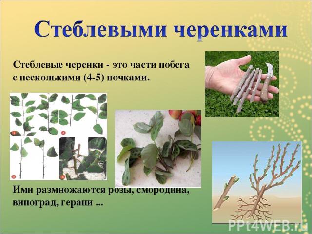 Стеблевые черенки - это части побега с несколькими (4-5) почками. Ими размножаются розы, смородина, виноград, герани ...