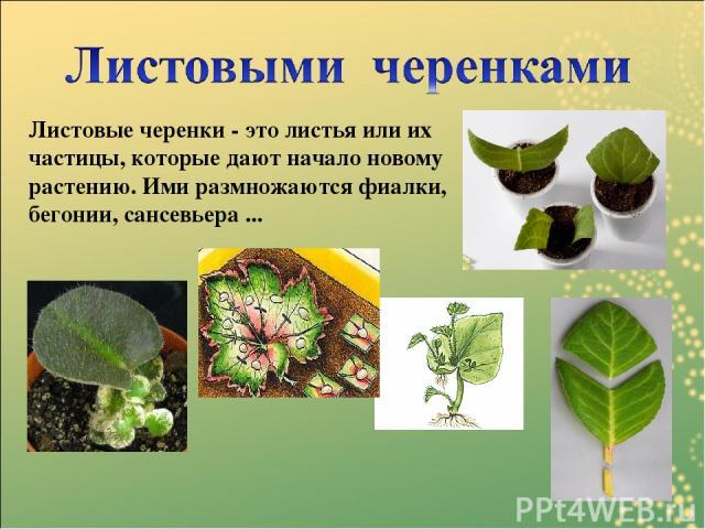 Листовые черенки - это листья или их частицы, которые дают начало новому растению. Ими размножаются фиалки, бегонии, сансевьера ...
