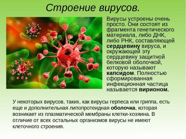 Строение вирусов. Вирусы устроены очень просто. Они состоят из фрагмента генетического материала, либо ДНК, либо РНК, составляющей сердцевину вируса, и окружающей эту сердцевину защитной белковой оболочкой, которую называют капсидом. Полностью сформ…