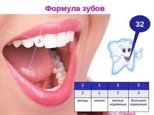 Формула зубов 32 2 1 2 3 2 1 2 3 резцы клыки малые коренные большие коренные