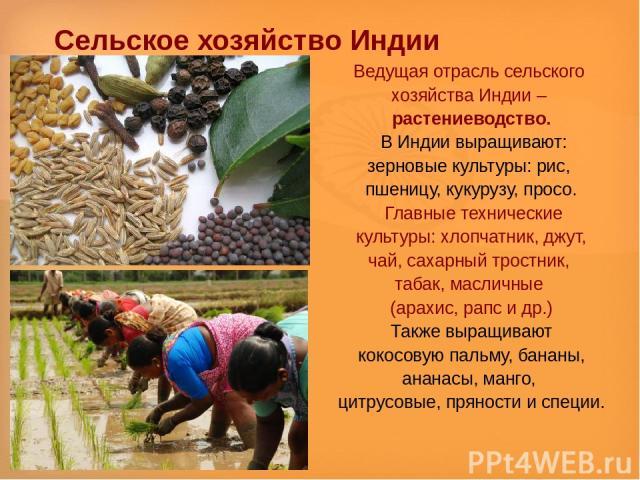 Сельское хозяйство Индии Ведущая отрасль сельского хозяйства Индии – растениеводство. В Индии выращивают: зерновые культуры: рис, пшеницу, кукурузу, просо. Главные технические культуры: хлопчатник, джут, чай, сахарный тростник, табак, масличные (ара…