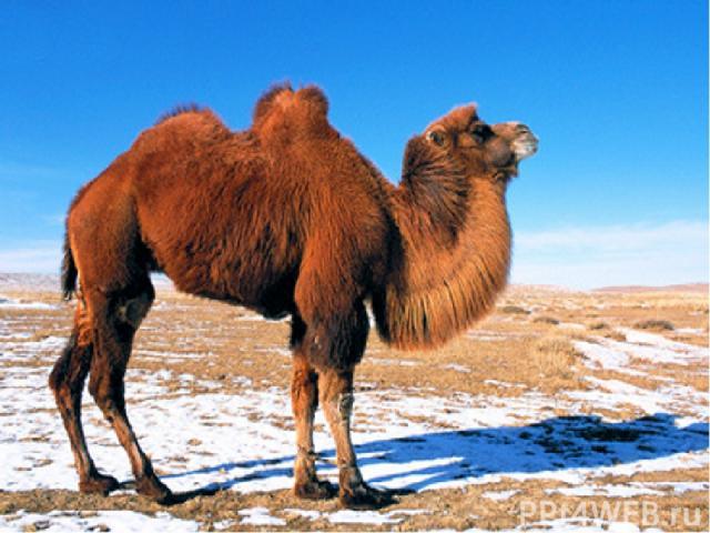 Своеобразен животный мир. В нём преобладают копытные – антилопа дзерен, много грызунов, среди которых выделяется сурок – тарбаган, много хищных птиц. Сохранились занесённые в Красную книгу осёл – кулан, лошадь Пржевальского, дикий верблюд.