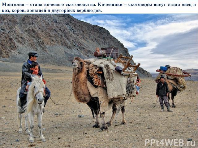 Монголия – стана кочевого скотоводства. Кочевники – скотоводы пасут стада овец и коз, коров, лошадей и двугорбых верблюдов.
