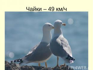 Чайки – 49 км/ч
