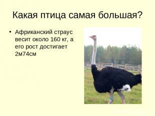 Какая птица самая большая? Африканский страус весит около 160 кг, а его рост дос
