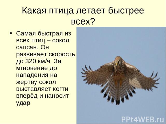 Какая птица летает быстрее всех? Самая быстрая из всех птиц – сокол сапсан. Он развивает скорость до 320 км/ч. За мгновение до нападения на жертву сокол выставляет когти вперёд и наносит удар