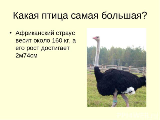 Какая птица самая большая? Африканский страус весит около 160 кг, а его рост достигает 2м74см