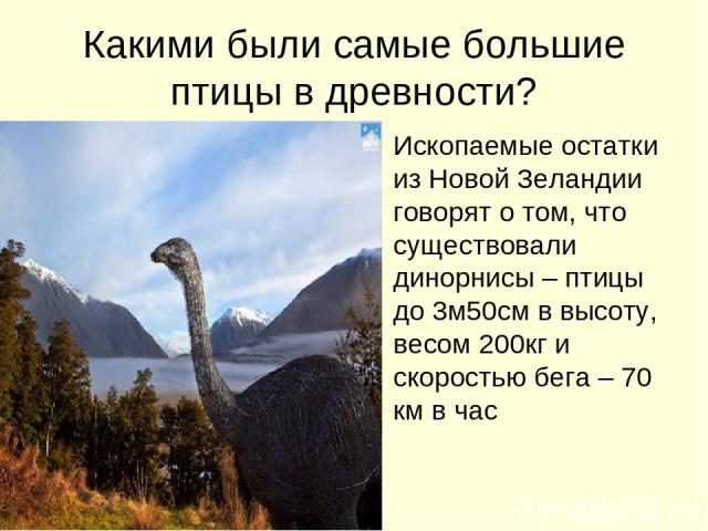 Какими были самые большие птицы в древности? Ископаемые остатки из Новой Зеландии говорят о том, что существовали динорнисы – птицы до 3м50см в высоту, весом 200кг и скоростью бега – 70 км в час