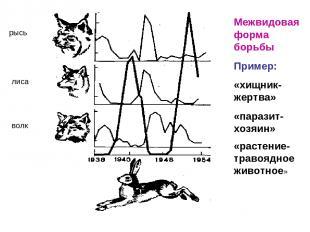 рысь лиса волк Межвидовая форма борьбы Пример: «хищник-жертва» «паразит-хозяин»